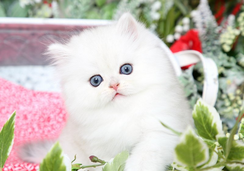 Silver Chinchilla Persian