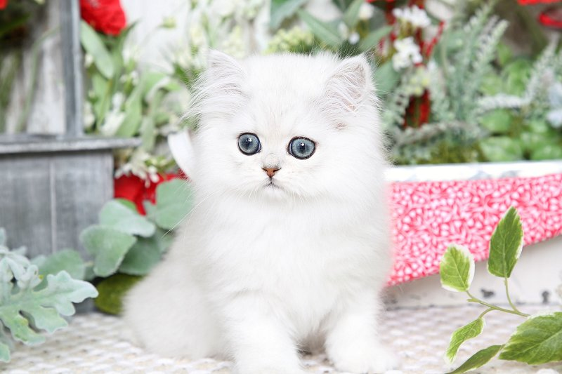 Doll Face Persian