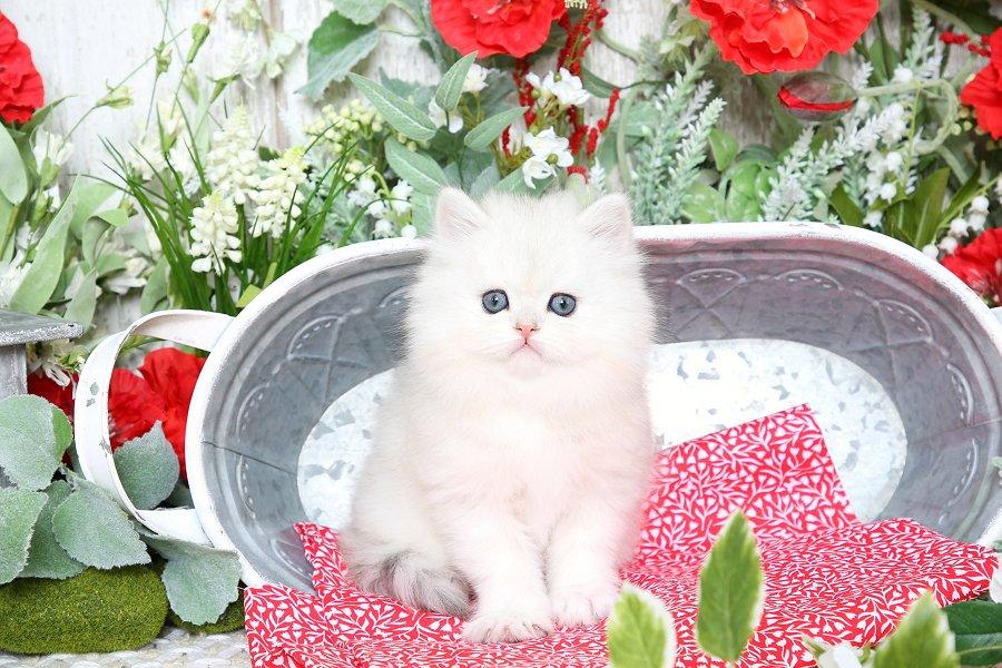 Silver Chinchilla Persian Kitten for Sale
