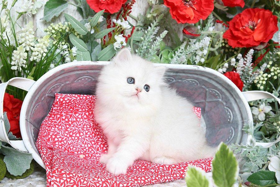 Persian Kitten Picture