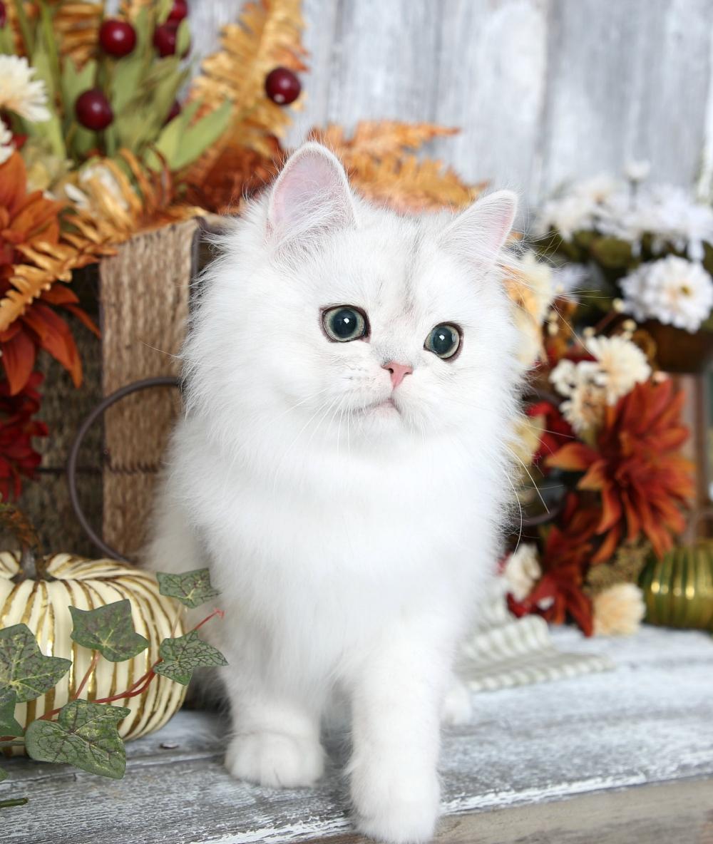 Silver Persian Kitten for Sale