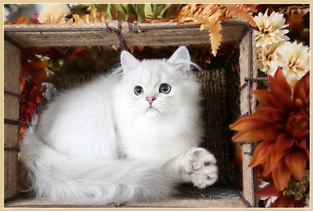 Silver Persian