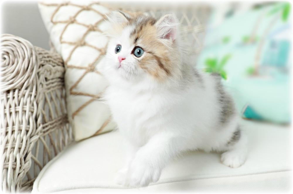 Golden Tabby & White Persian