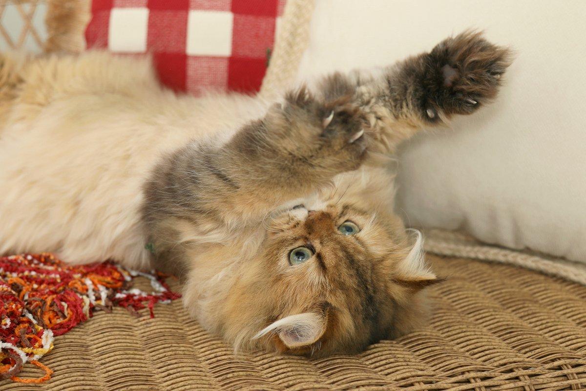 Gold Persian Kitten