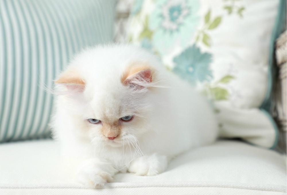 Flame Point Kitten