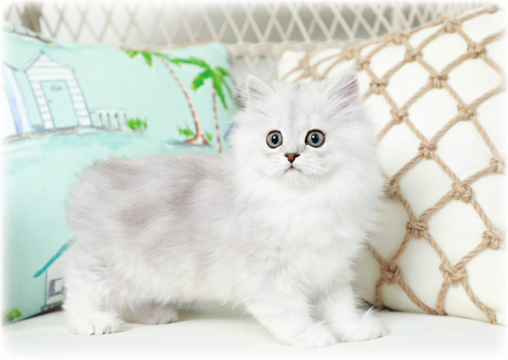 Shaded Silver Persian Kittens