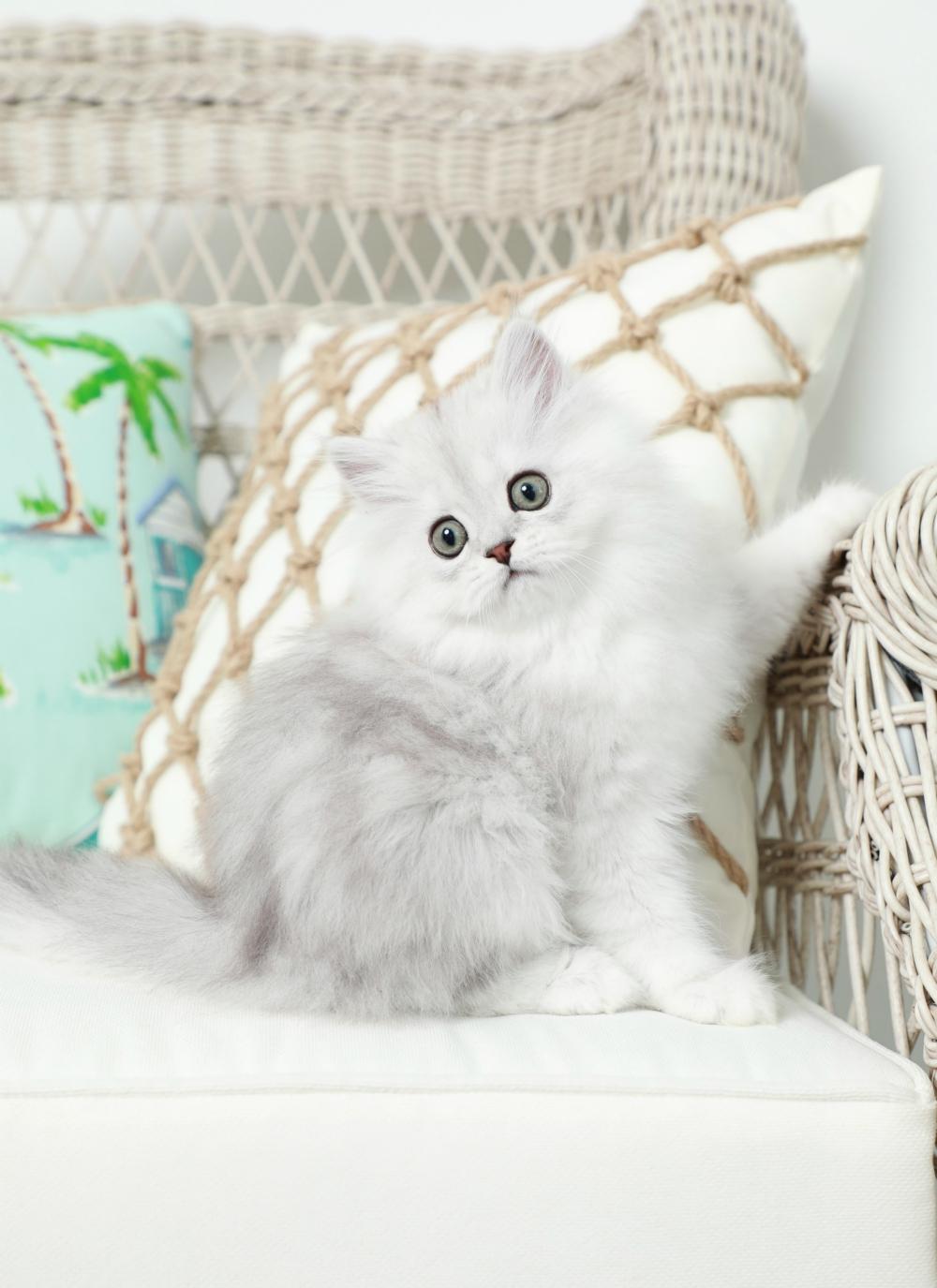 Shaded Silver Kitten