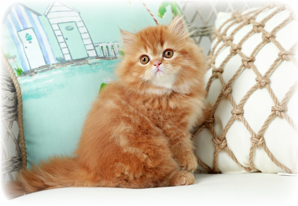 Red Persian Cats | Red Persian Kittens | Cat Breeder of Red Persian