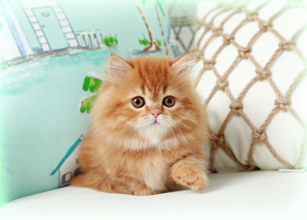 Red Rug Hugger Persian Kitten