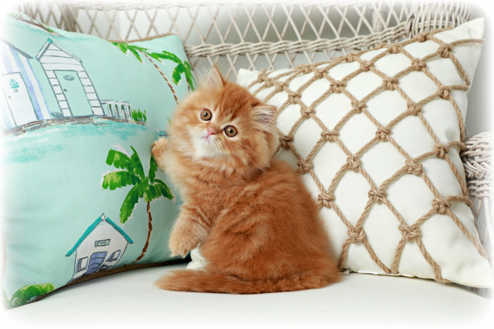 Red Tabby Kitten