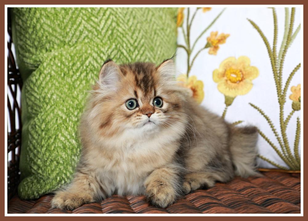 Golden Kitten for Sale