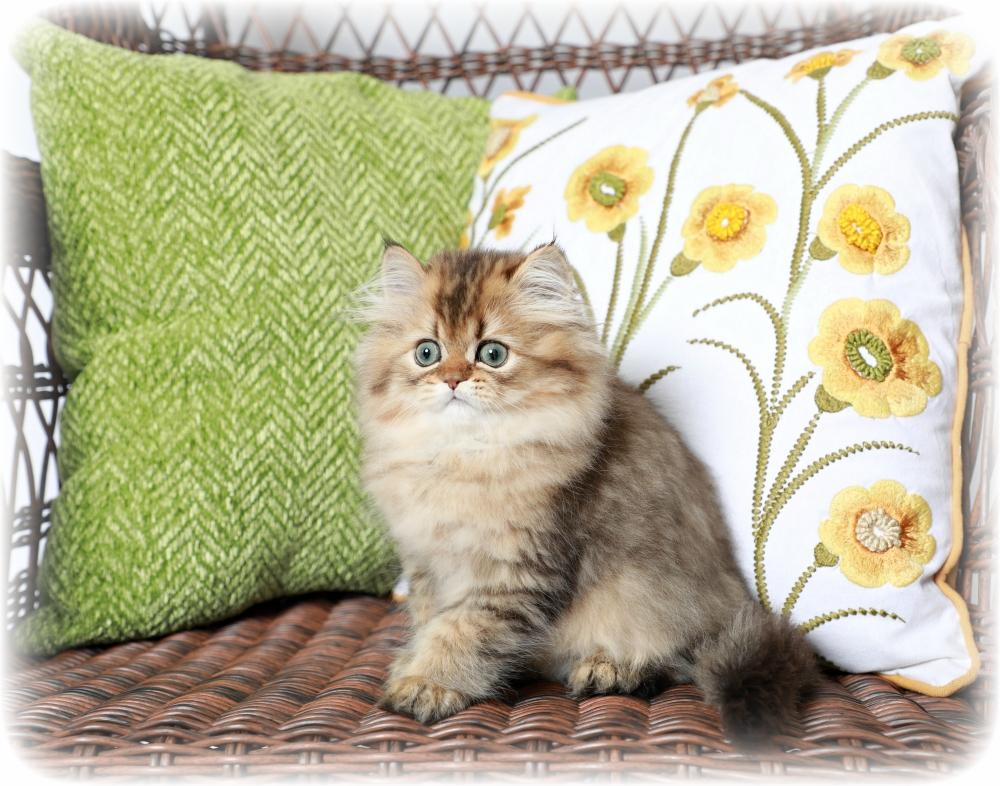 Golden Chinchilla Persian