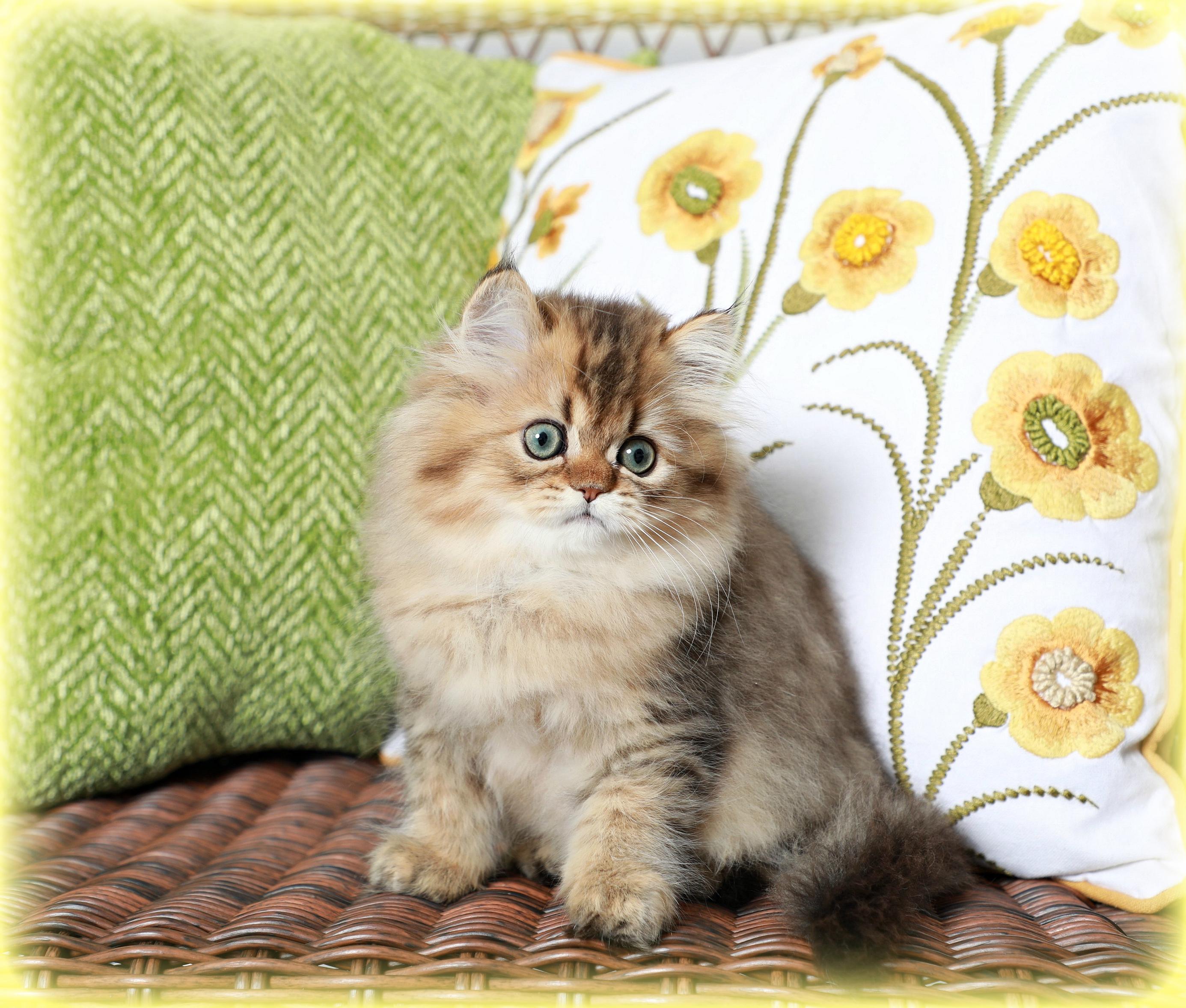 Persian Kitten for Sale