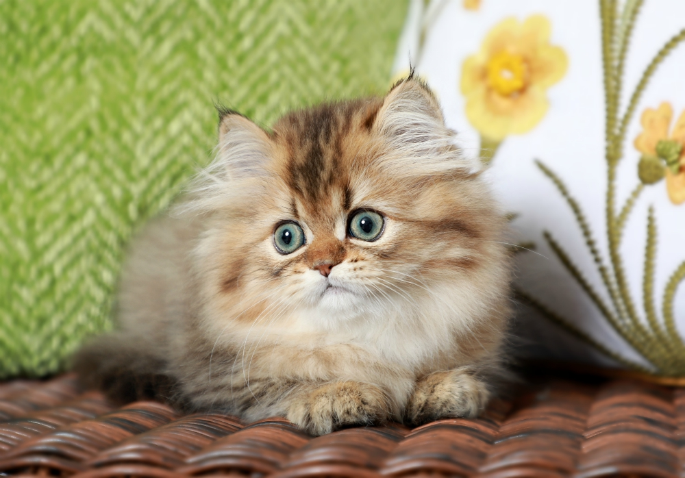 Doll Face Persian for Sale