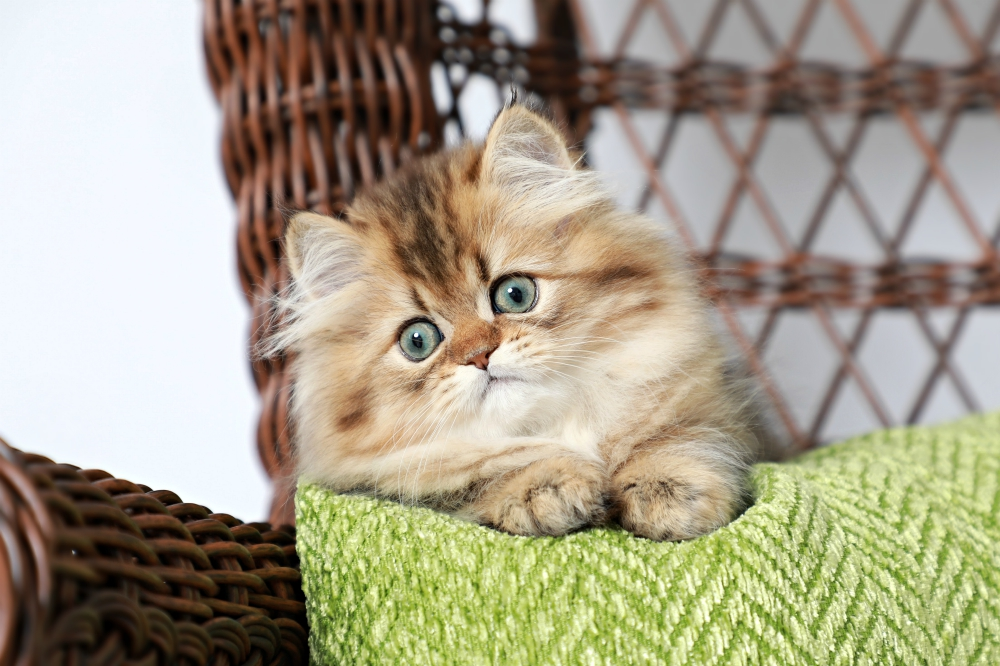 Golden Tabby Persian