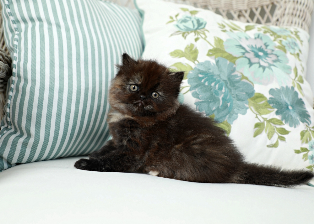 Tortoiseshell Persian Kitten