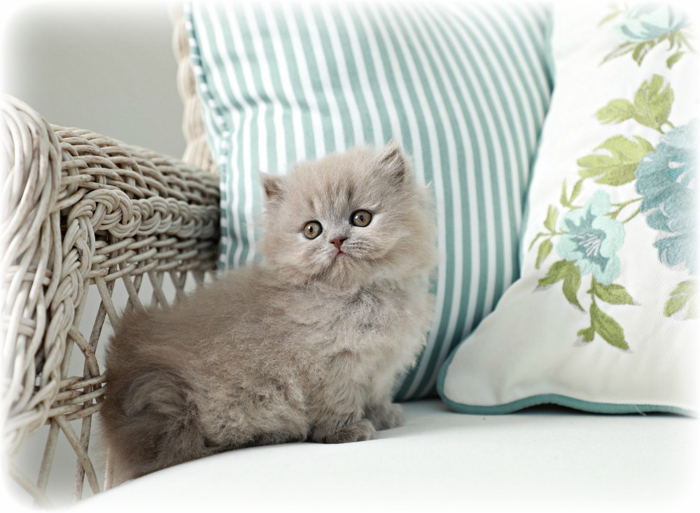 Lilac Persian Kitten for Sale