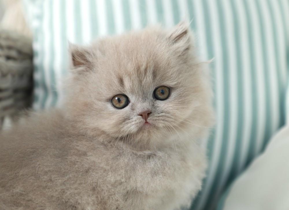 Rug Hugger Kitten for Sale