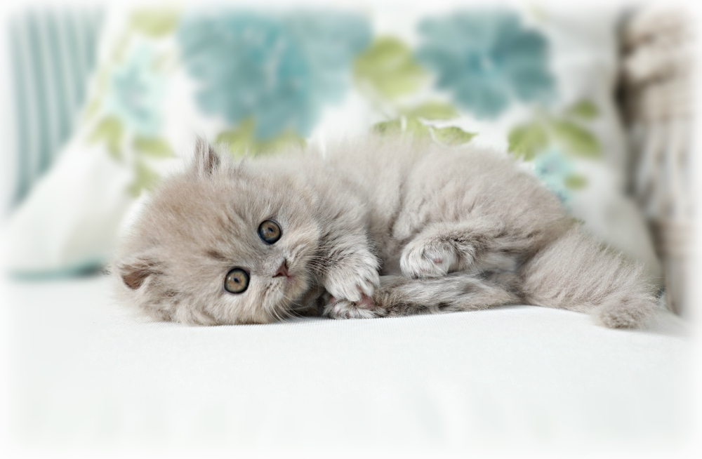 Doll Face Persian Kittens Minuet Persian Kitten