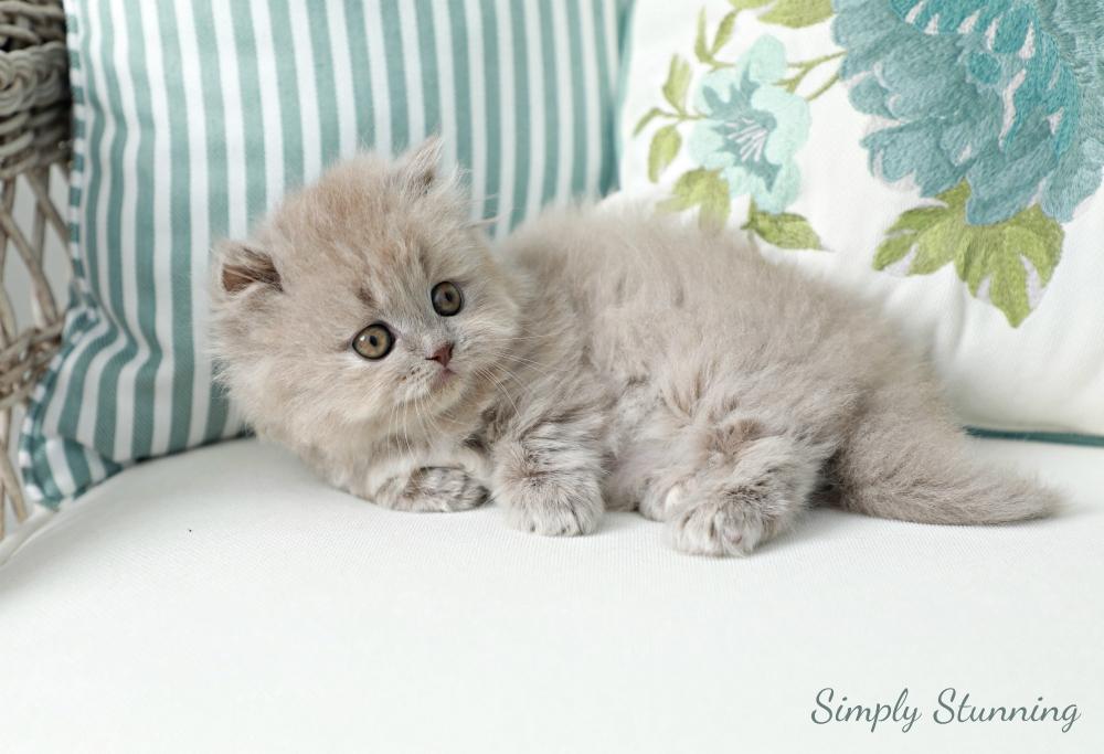 Lilac Minuet Kitten