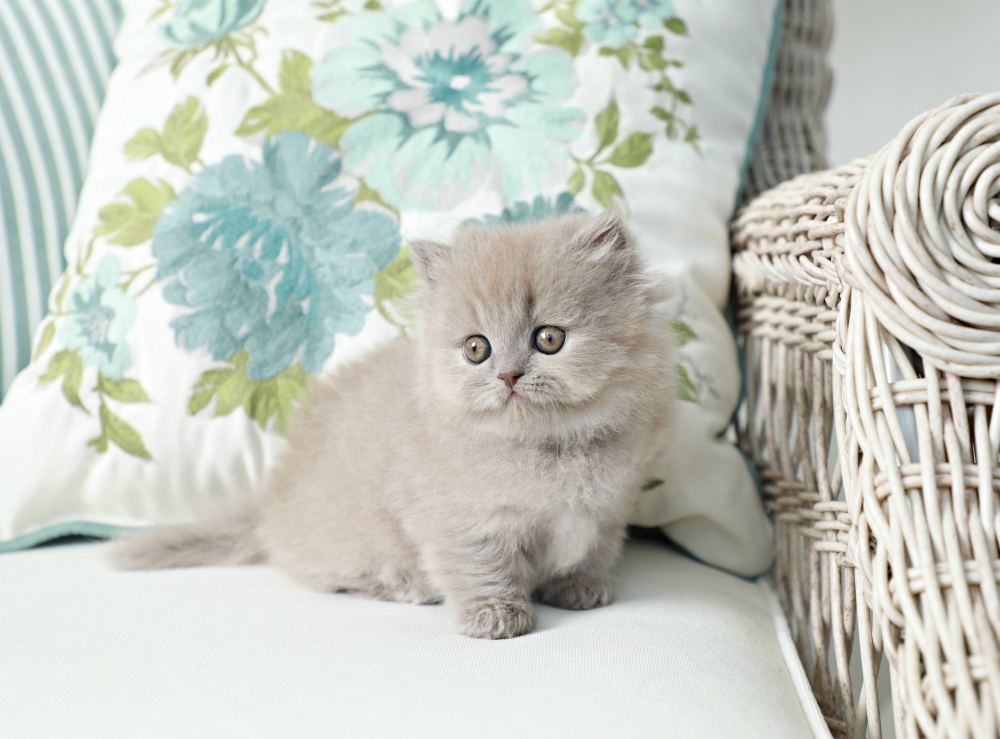 Lilac Rug Hugger Kitten