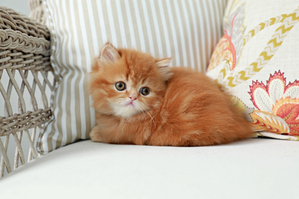 Red Tabby Persian