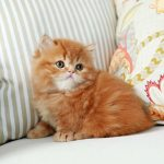 Gingersnap – Currently Available