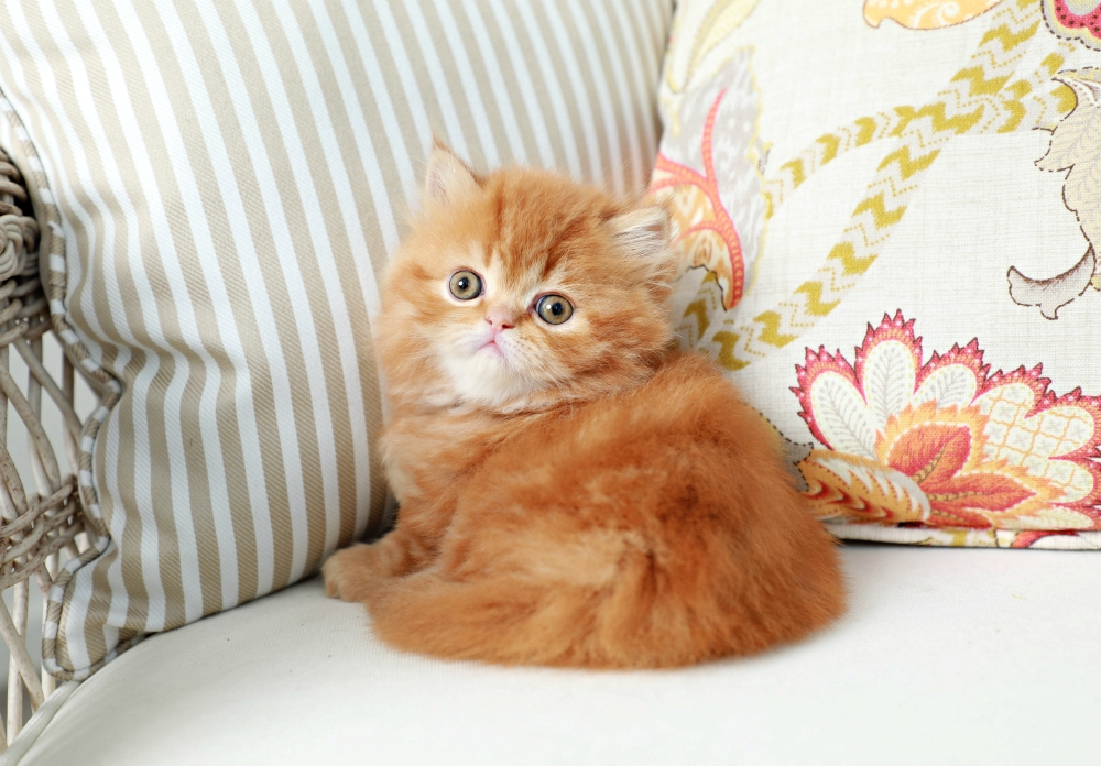 Gingersnap - Currently Available ~ Ultra Rare Persian ...
