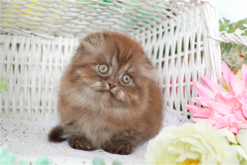 Chocolate Tabby Rug Hugger - Doll Face Persian Kittens
