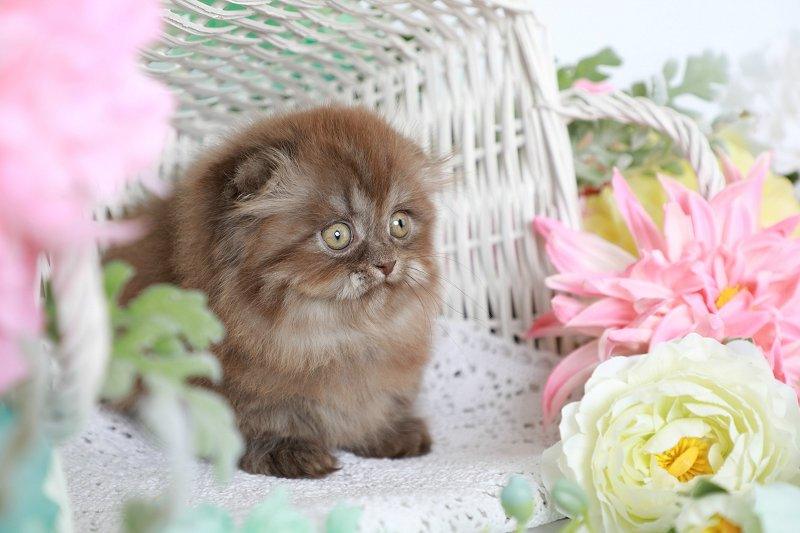 Chocolate Persian