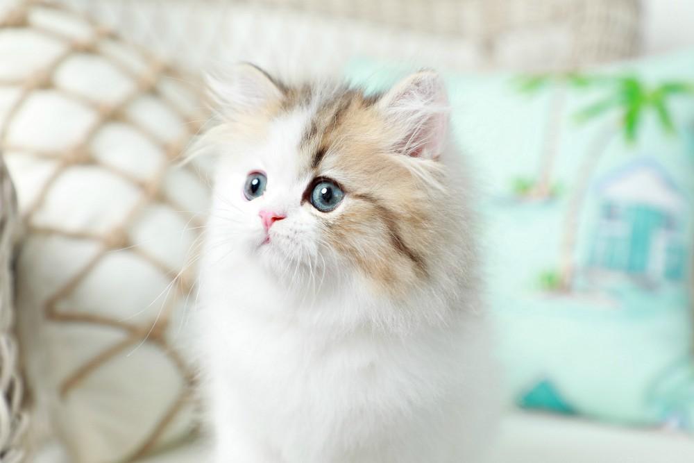 Bi-Color Persian Kitten