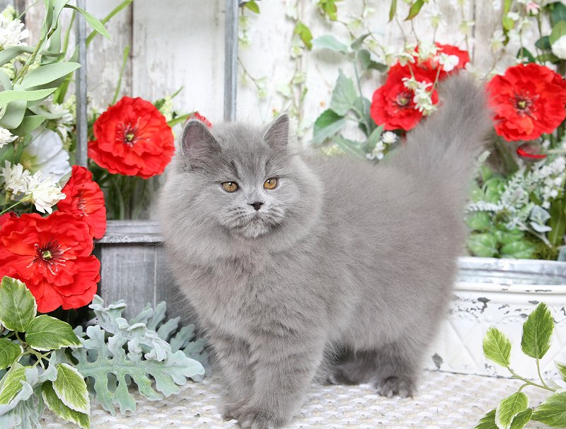 Solid Blue Persian