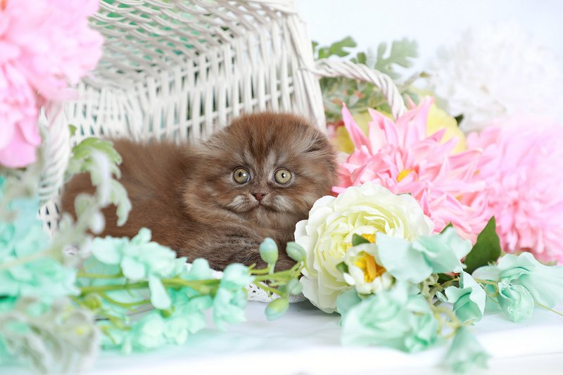 Chocolate Tabby Kitten