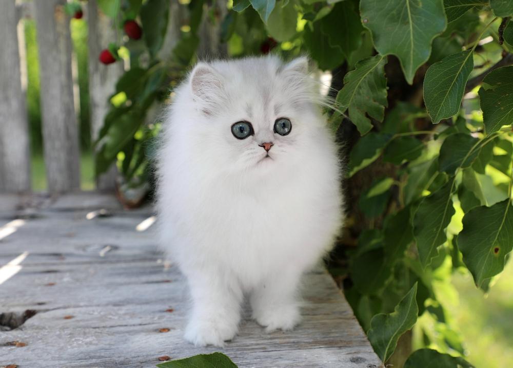 Silver Teacup Kitten for Sale