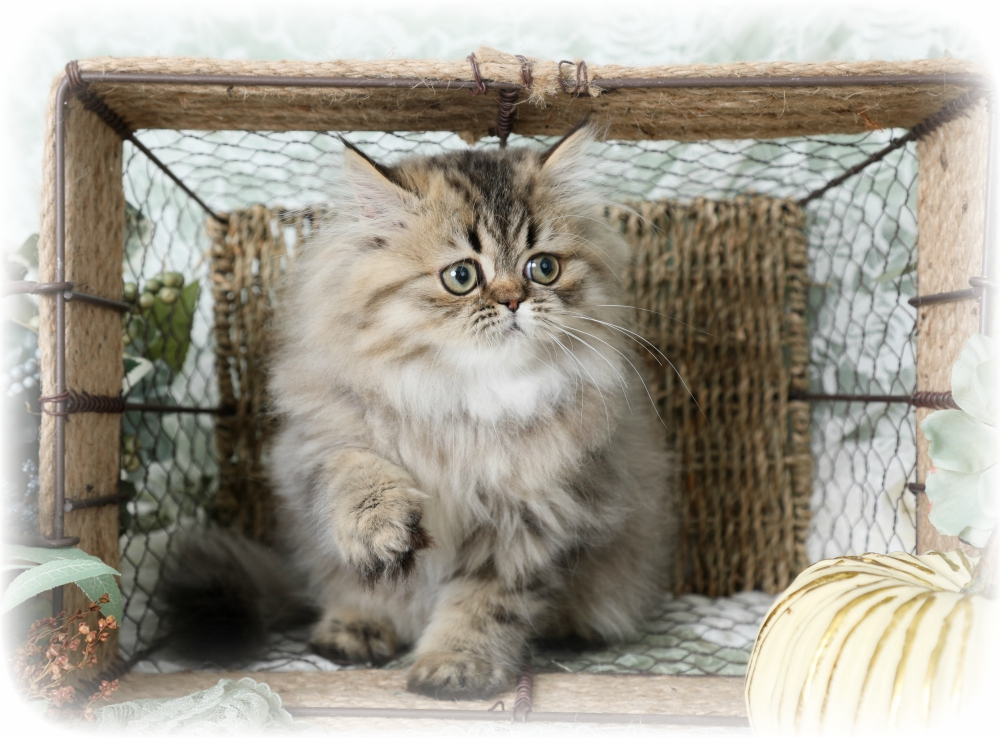 Tabby Persian for Sale