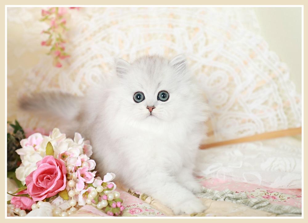 Silver Teacup Persian