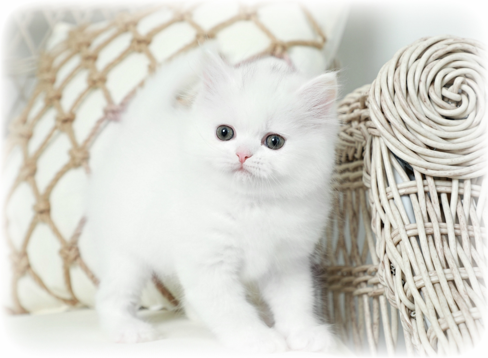 White Persian Kitten for Sale