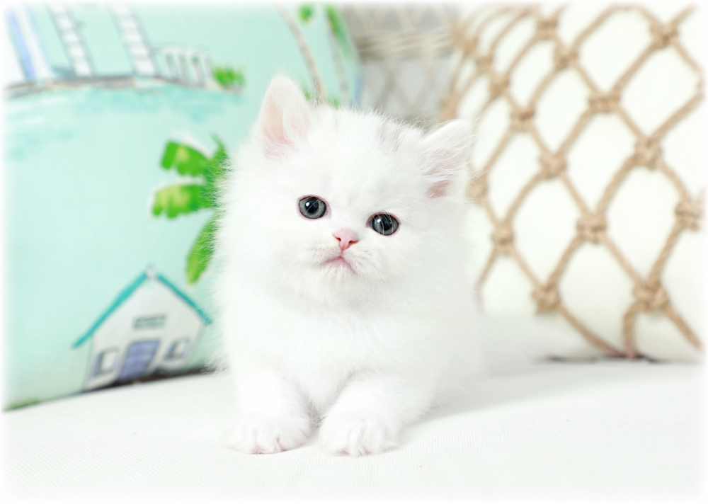 White Persian For Sale