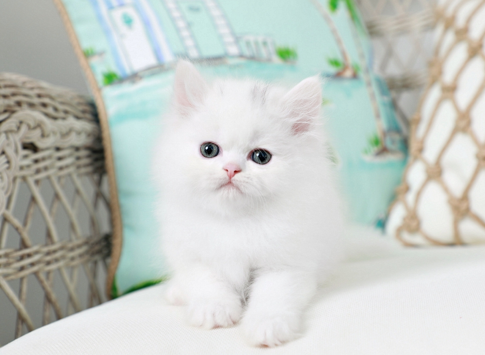 White Kitten for Sale