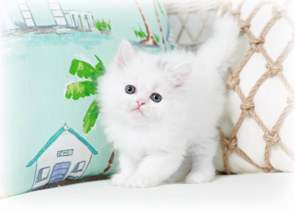 Cashmere Persian