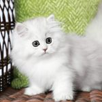 Silver Persian Kitten for Sale