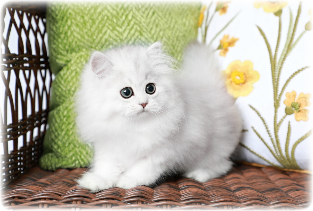 Silver Persian For Sale