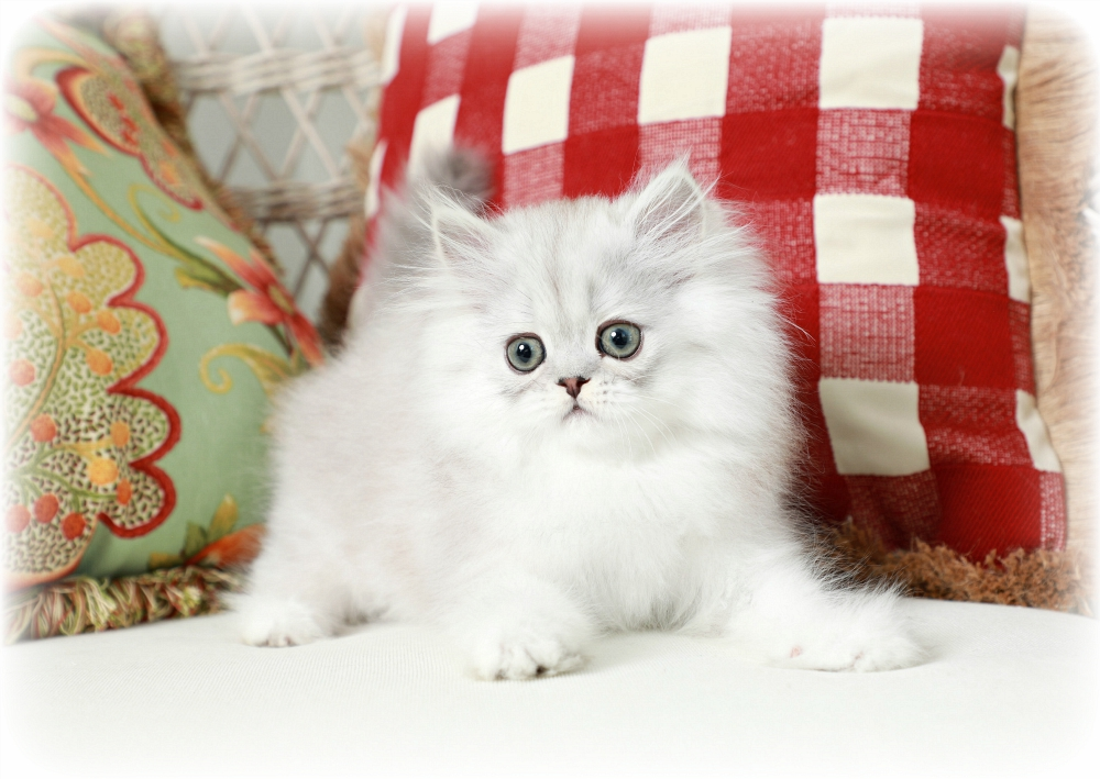 Silver Teacup Persian Kitten for Sale