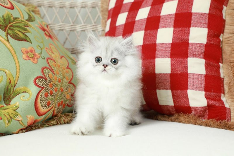 Silver Tipped Persian