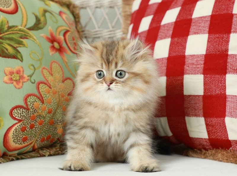 Teacup Persian for Sale