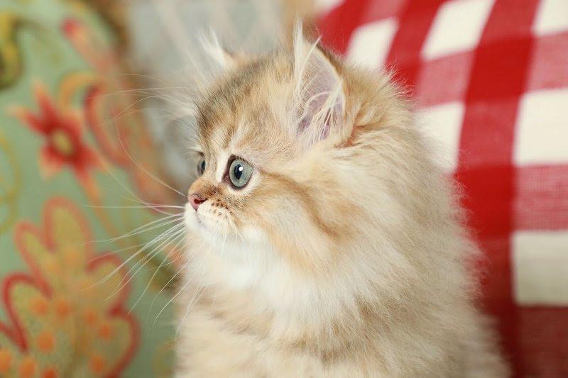 Golden Teacup Persian Kitten for Sale