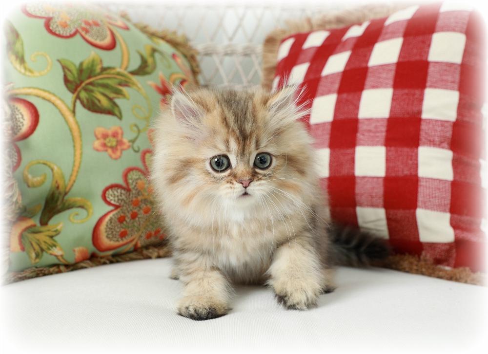 Golden Tabby Persian Kitten
