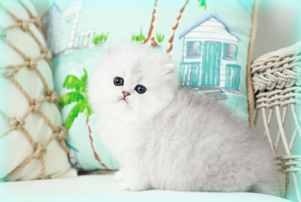 Fancy Feast Kitten