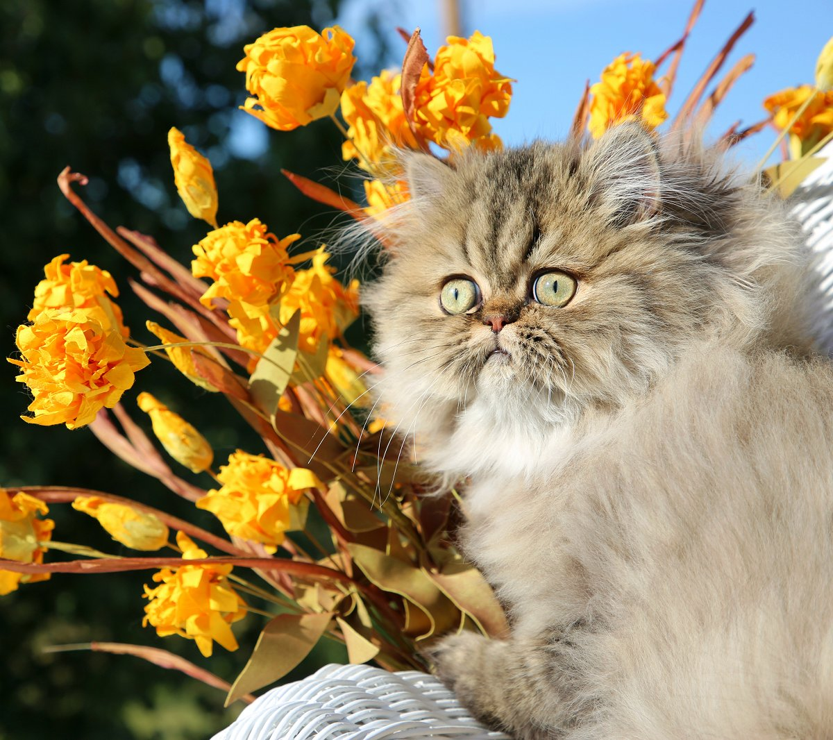 Shaded Golden Tabby Persian Kitten