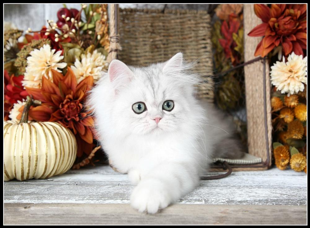 Doll Face Persian